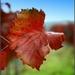 """""""Jesenný"""" list viniča"""