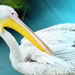 pelikán v ZOO