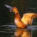 Podvečerná kačica