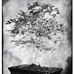 Bonsai #15 - Ulmus parvifolia