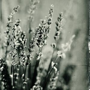 Levandula angustifolia #1