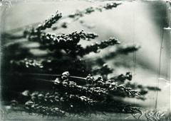 Levandula angustifolia #2