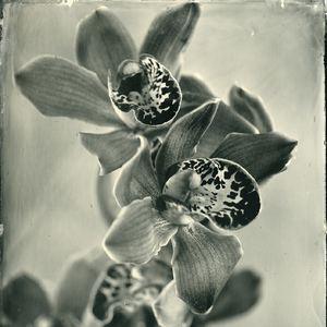 The Orchid #2