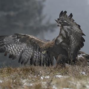 Aquila chrysaetos