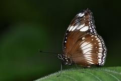 Danaus affinis