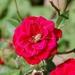ružový pavúk
