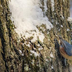 Brhlík lesný