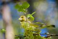 Stehlík zelený