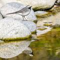 Trasochvost biely/Motacilla alba