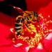 Prosto včela