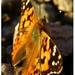 Motýľ v jesenný deň