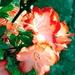 Kvetinla 339