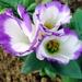Kvetinka  39