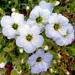 Kvetinka  122