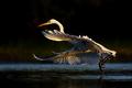 Prekvapenie zvané Egretta alba (Beluša veľká)