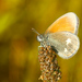 Očkánik - Coenonympha glycerion
