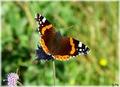 Butterfly- Vanessa atalanta