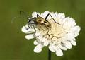 Pachyta quadrimaculata