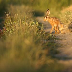 Večerný zajko