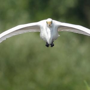 Biely albatros
