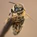 Jarná včielka