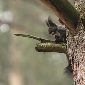 Veverička :)