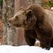 Ursus arctos (medveď hnedý)