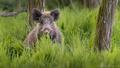 Kanček schovaný v tráve
