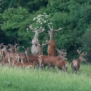 Keď jeleni tancujú swing ;-)