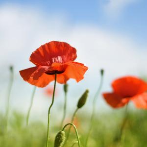 ...krepové růže ze střelnic