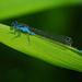 Modrá vážka