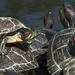 turtles famili