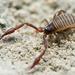Škorpión po slovensky