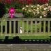 ... v ružovej záhrade
