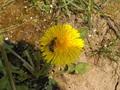 včielka na púpave