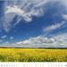 Pole žlté, obloha modrá