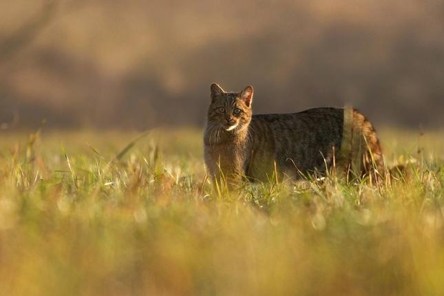 Felis silvestris (mačka divá)