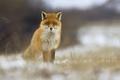 Vulpes vulpes (líška hrdzavá)