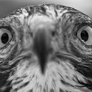 Oči dravca