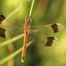 Vážka pásavá