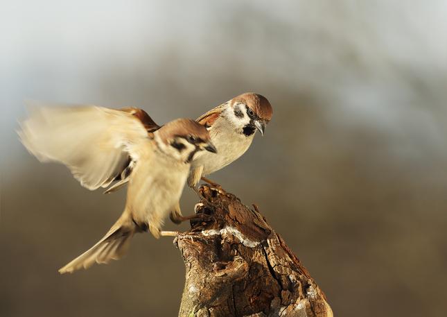 Vrabčiaci