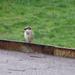 zmoknutý vrabec