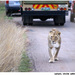 Prvá dáma na safari