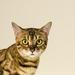 Mačka Bengálska