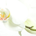 orchidea High-Key