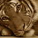 prebudny tiger