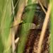 Skrývajúca kačica