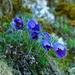 Poniklec veľkokvetý (Pulsatilla