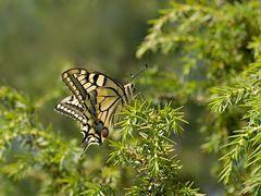 Papilio machaión