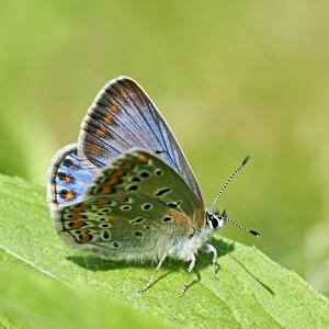 Blue icarus